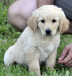 03_golden_retriever_F_217833