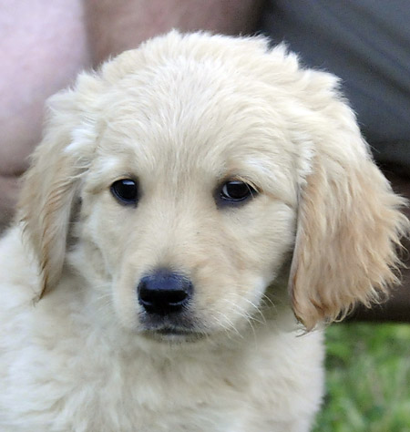 04_golden_retriever_F_217833