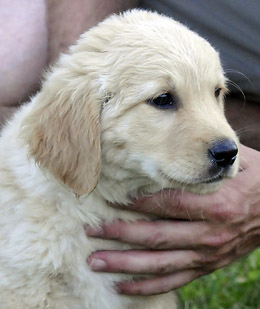 05_golden_retriever_F_217833