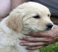 /export/2011-08-24_export/05_golden_retriever_F_217833.jpg