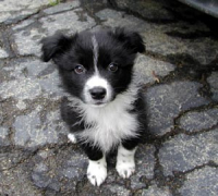 /export/2012-02-17_export/Border_collie.jpg